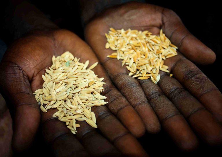 Ruce a rýže